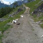 Sheep up in Geiranger Mountain Path