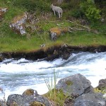 Sheep by Gieranger water