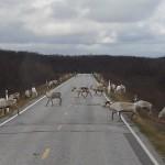 A herd of reindeers crossing road