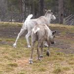 Reindeers in Sami Park in Norway